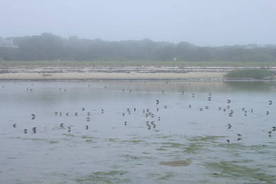 Photograph - Monomoy National Wildlife Refuge Shorebirds In Fog by John Burk