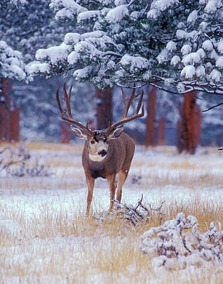 Photograph - Monster Muley In The Rockies by Mark Miller