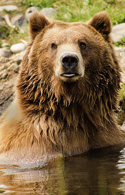 Photograph - Montana Grizzly by David Cabana
