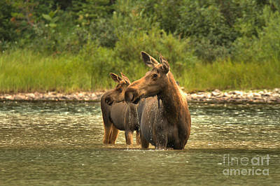 Moose In Water Photograph - Montana Moose On The Lookout by Adam Jewell