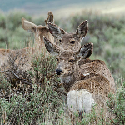 Photograph - Montana Mule Deer On A Spring Night by Yeates Photography