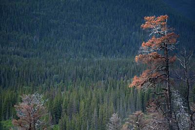 Montana Tree Line Art Print