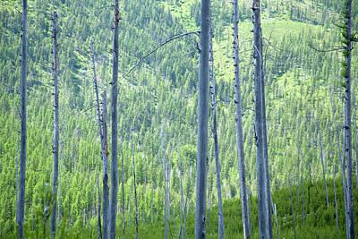Montana Trees Art Print
