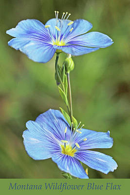 Photograph - Montana Wildflower Blue Flax by Jennie Marie Schell