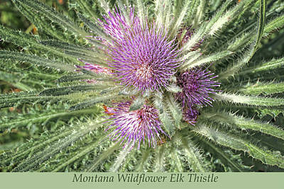 Photograph - Montana Wildflower Elk Thistle by Jennie Marie Schell