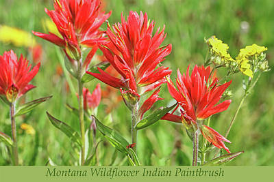 Photograph - Montana Wildflower Indian Paintbrush by Jennie Marie Schell