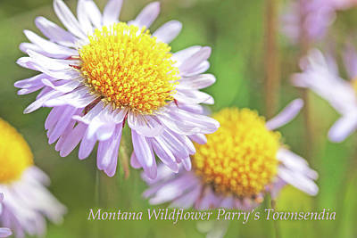 Photograph - Montana Wildflower Parry's Townsendia by Jennie Marie Schell