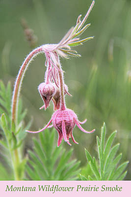 Photograph - Montana Wildflower Prairie Smoke by Jennie Marie Schell