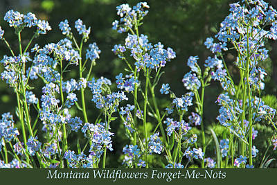 Photograph - Montana Wildflowers Forget Me Nots by Jennie Marie Schell