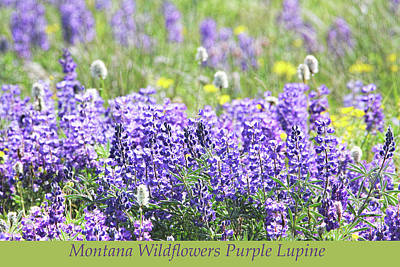 Photograph - Montana Wildflowers Purple Lupine by Jennie Marie Schell