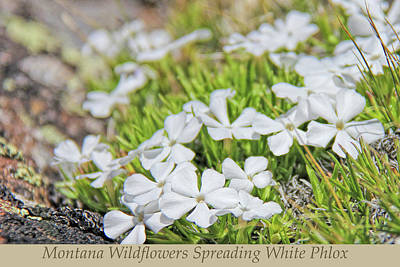 Photograph - Montana Wildflowers Spreading White Phlox by Jennie Marie Schell