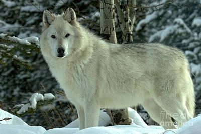 Photograph - Montana Winter Wolf by Adam Jewell