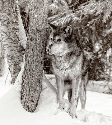 Photograph - Montana Wolf by Wes and Dotty Weber