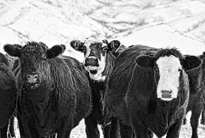 Photograph - Montana's Winter Cattle Black And White by Jennie Marie Schell