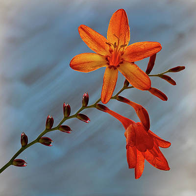 Photograph - Montbretia Flower by Shirley Mitchell