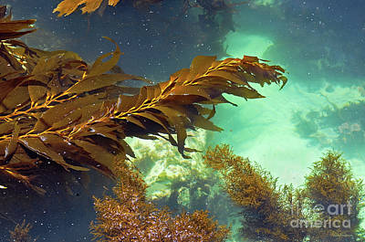 Photograph - Monterey Bay Seaweed by Susan Wiedmann