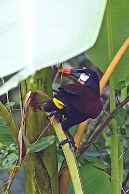 Photograph - Montezuma Oropendola by John Haldane