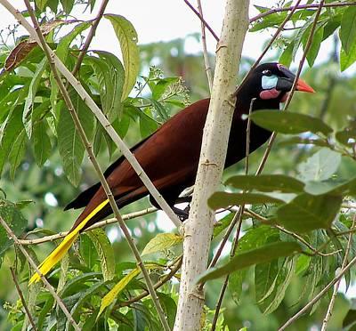 Montezuma Oropendola Of Costa Rica Original by William Patterson