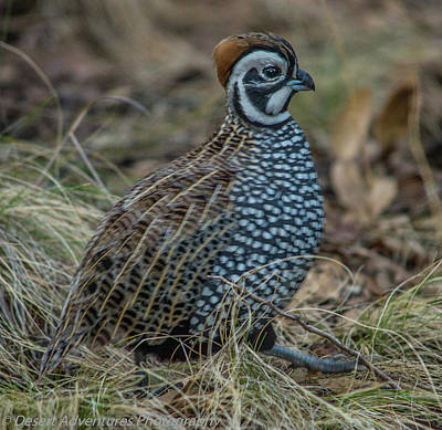 Photograph - Montezuma Quail by James Dudrow