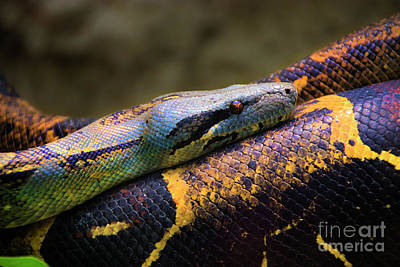 Boa Constrictor Photograph - Don't Wear This Boa by Al Bourassa