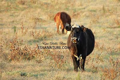 Photograph - Moo 3 by Captain Debbie Ritter