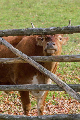 Photograph - Moo by Bill Wakeley
