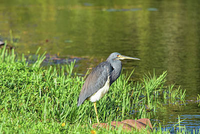 Photograph - Moods Of A Tricolored Heron by William Tasker