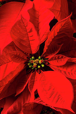 Photograph - Moody Poinsettia by Garry Gay