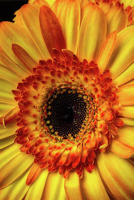 Moody Yellow Orange Gerbera Art Print by Garry Gay
