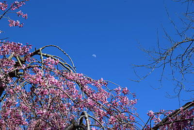 Moon And Cherry Blossoms Art Print
