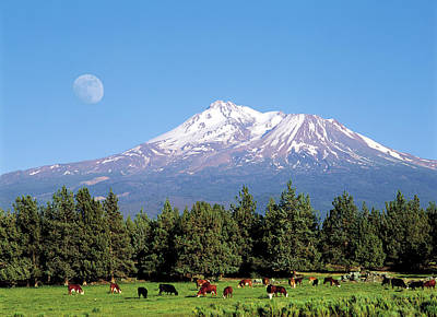 Jim Nelson Photograph - Moon, Cows And Mt. Shasta by Jim Nelson
