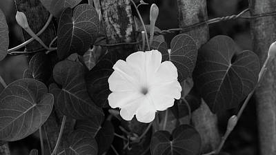 Photograph - Moon Flower Delray Beach Florida by Lawrence S Richardson Jr