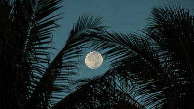 Photograph - Moon Fronds Delray Beach Florida by Lawrence S Richardson Jr