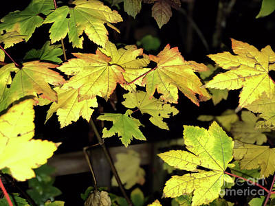 Photograph - Moon Maple by Victor K
