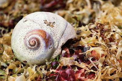 Photograph - Moon Snail Shell On Kelp Bed by Peggy Collins