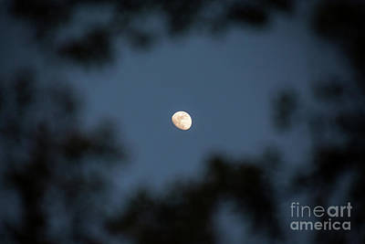 Photograph - Moon Through The Trees by Sharon McConnell