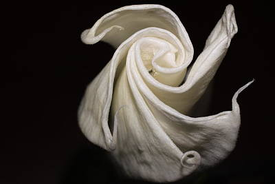 Photograph - Moonflower by Jill Smith