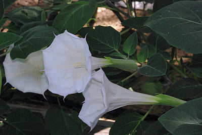 Photograph - Moonflower by Robyn Stacey