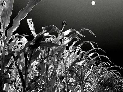 Photograph - Moonlit Corn by Will Borden