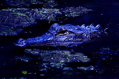 Photograph - Moonlit Gator by David Weeks