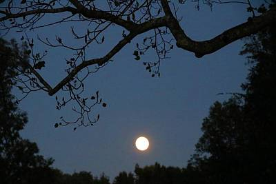 Photograph - Moonrise In Tulip Tree by Kathryn Meyer