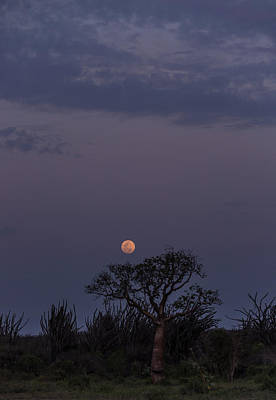 Photograph - Moonrise With Baobab And Octopus Trees by Alex Lapidus