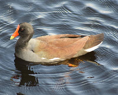 Photograph - Moorhen In Spring by Sheri McLeroy