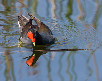 Photograph - Moorhen Mirror by Dawn Currie