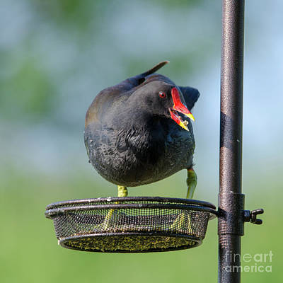 Photograph - Moorhen On Feeder by Steev Stamford