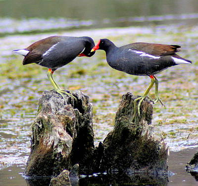 Moorhen Photograph - Moorhen Romance by Lisa Scott