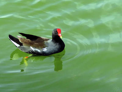 Photograph - Moorhen by Rosalie Scanlon