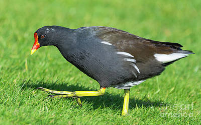 Moorhen Photograph - Moorhen Walking On Grass by Geoff Smith