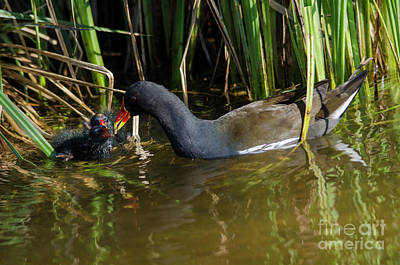 Photograph - Moorhen With Chicks by Steev Stamford