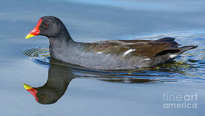 Moorhen Photograph - Moorhen With Perfect Reflection. by Geoff Smith